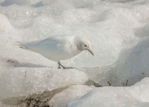 Peace Dove of the Arctic