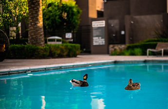 ducks in a pool.jpg