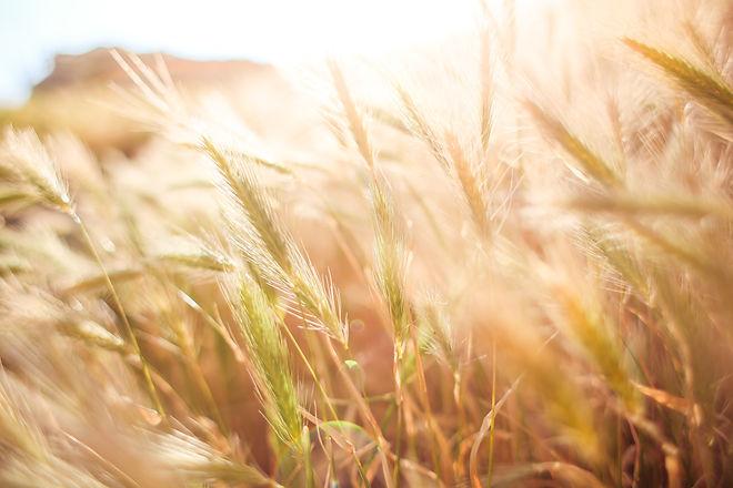 wheat-crops-865098.jpg