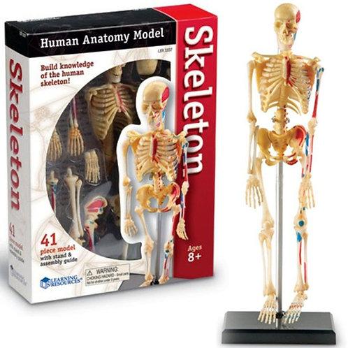 Anatomie humaine - Squelette