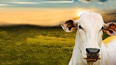 gado materias.jpg