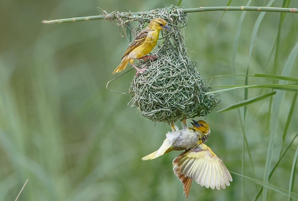 Weaver pair at nest_D8A2297_crop.psd.jpg