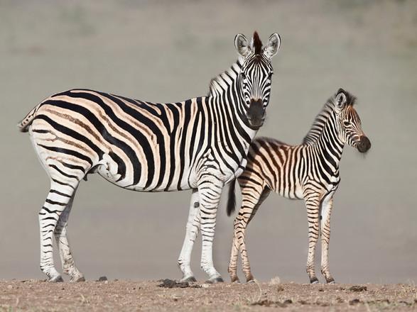 Zebra and foal..jpg