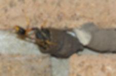 Mud wasp.jpg