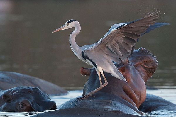 Heron on hippo-4SB_6548.jpg