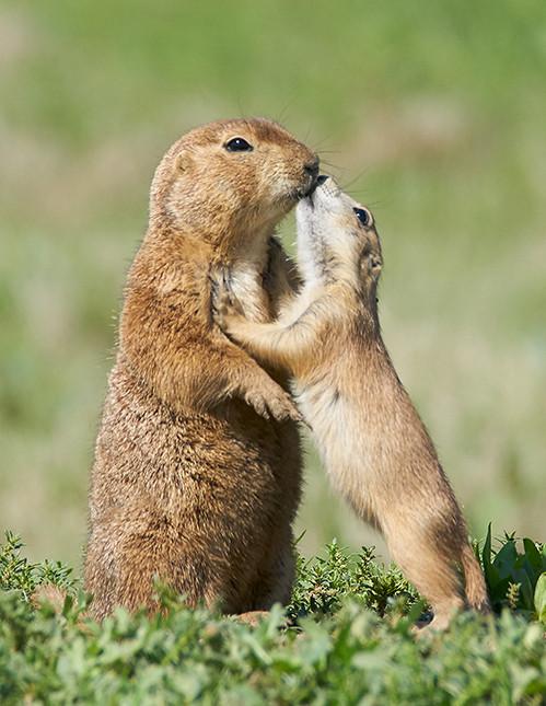 2 Prairie dogs_DSC3431 1.jpg