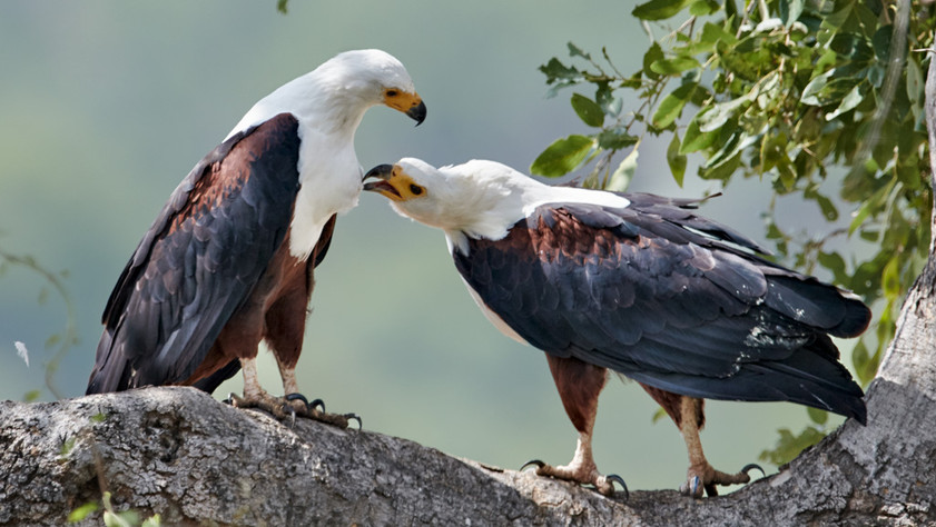 Fish eagle pair_D855876-2.psd.jpg
