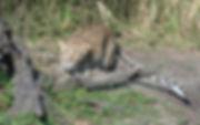 Leopard_D4G1806.jpg