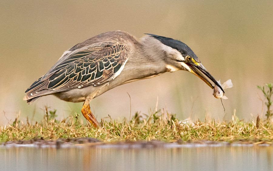 Heron withsmall fish-D8A4966-lemur-900.j