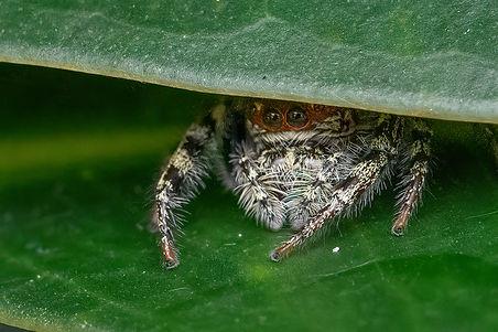Jumpimng spider_D8C6393-2.jpg