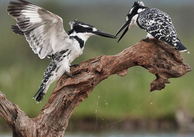 PIed kingfisher squabble.jpg