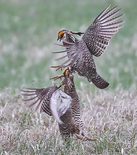 Praire chicken fight-55.jpg