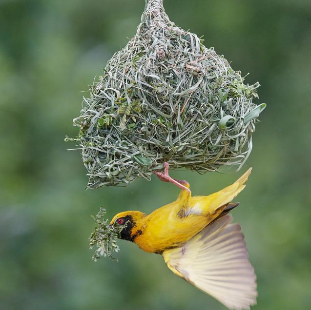 Masked weaver at nest_D5A7057.psd.jpg