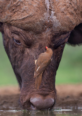 Oxpecker on cape buffalo-900.jpg