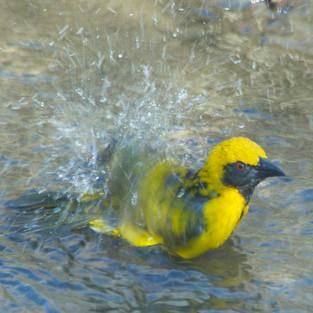 Weaver bathing.jpg.jpg