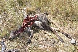 Dead kangaroo.jpg