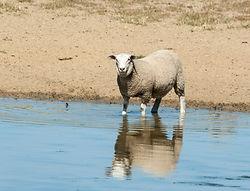 Sheep in water_D2C8090.jpg