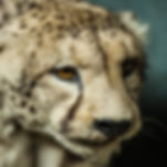 Stuffed cheetah_D3G5274.jpg