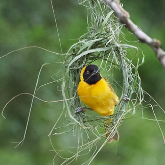 Male masked weaver.jpg.jpg