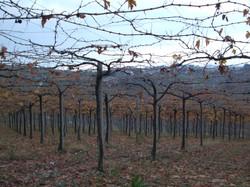 Vines in Abruzzo