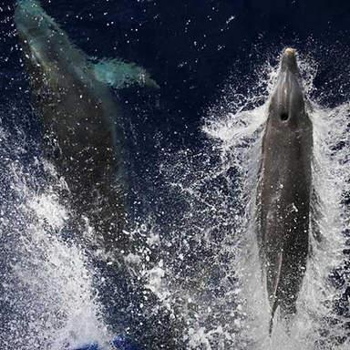 Delfine auf Ibiza
