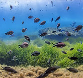 fische in ibiza für posidonia protection im mittelmeer