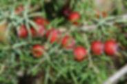 Juniperusoxycedrussubsp.oxycedrus.jpg