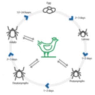 닭 사이클.jpg