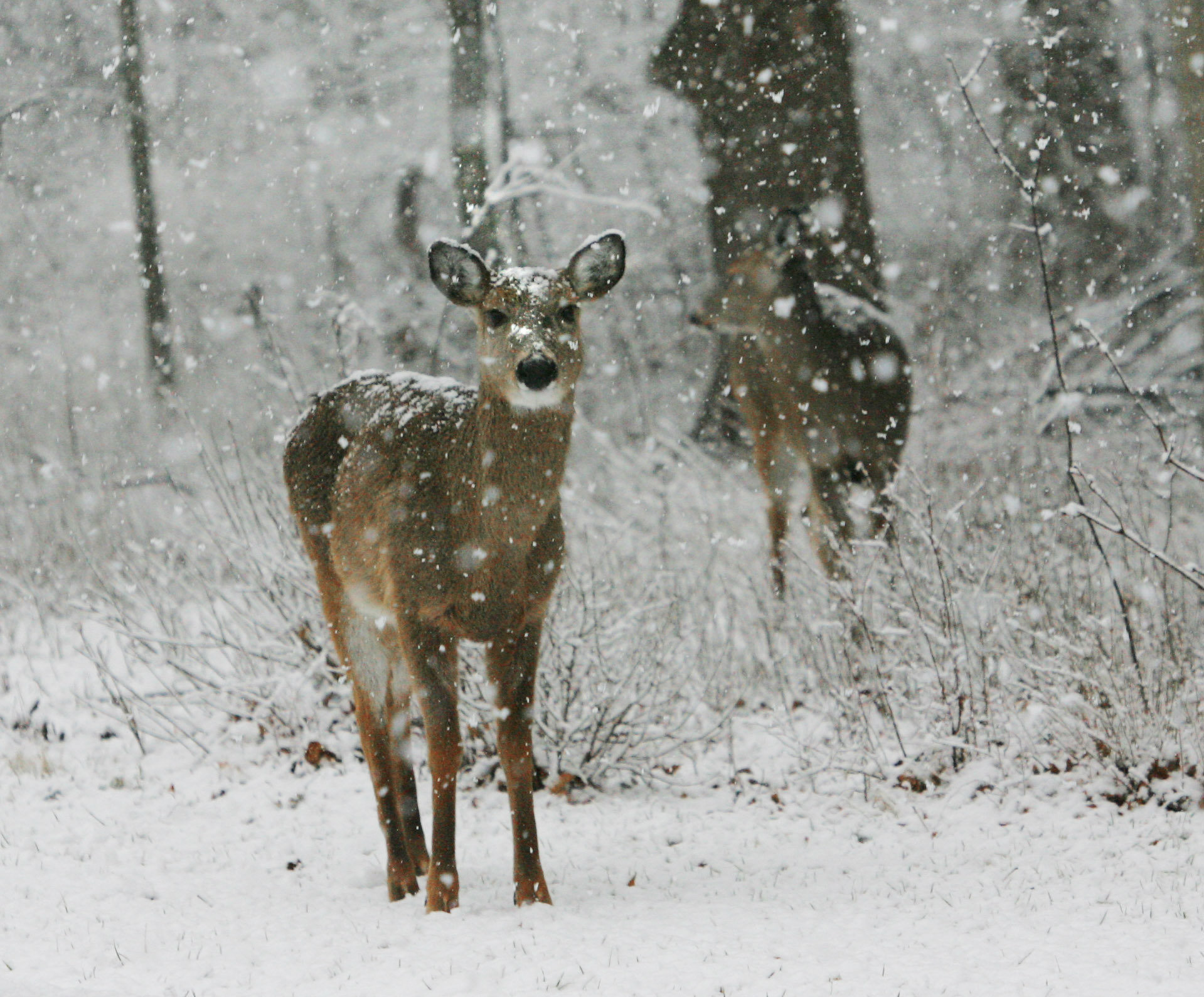 st marys deer.jpg