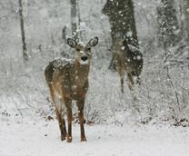 st marys deer.jpg