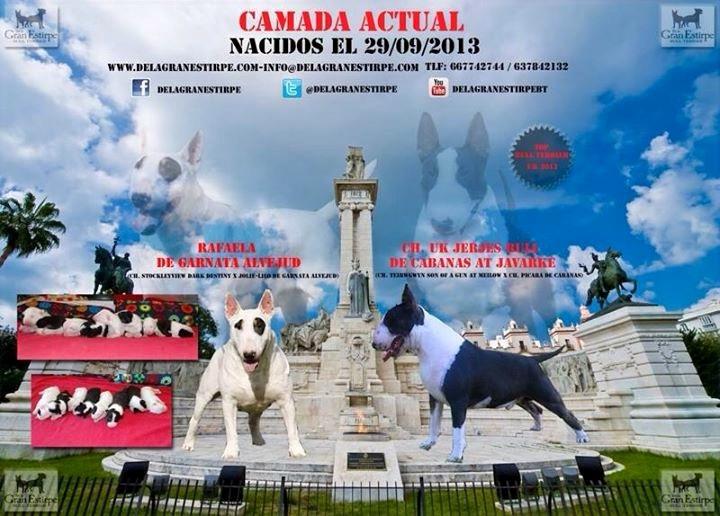 Ch. Jerjes Bull de Cabanas & Rafaela de Garnata Alvjejud