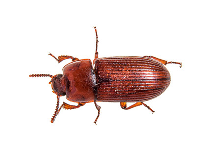 Red Flour Beetle: The Pantry Invaders