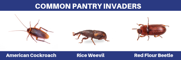 common pantry invaders, american cockroach, roach, cockroach, rice weevil, red flour beetle, beetle