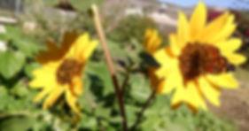 socal,butterflyonsunflower