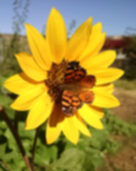 Butterfly Pollinating Sunflower