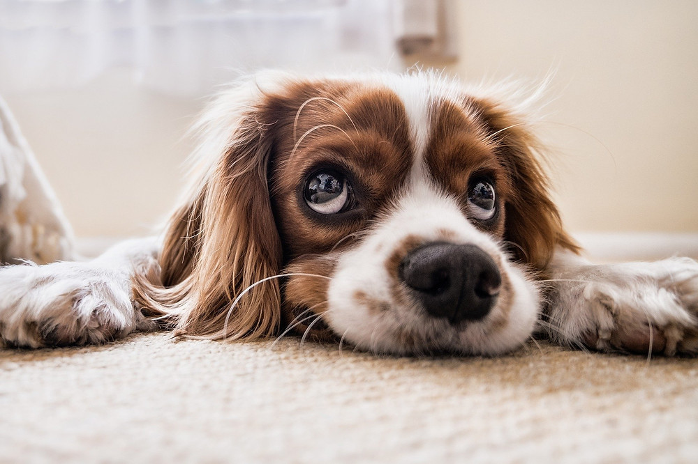 what is the best flooring for dogs