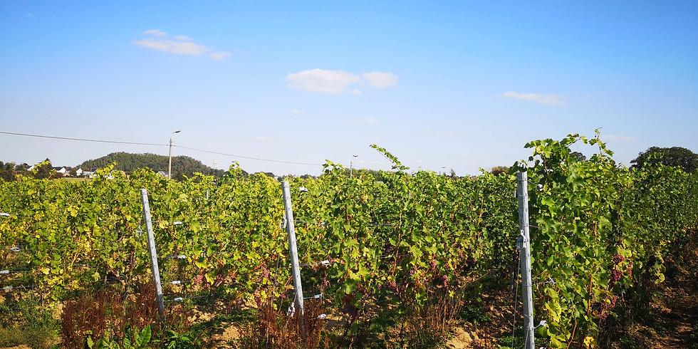 Journée dans les vignes : Relevage (Réservé aux coopérateurs)