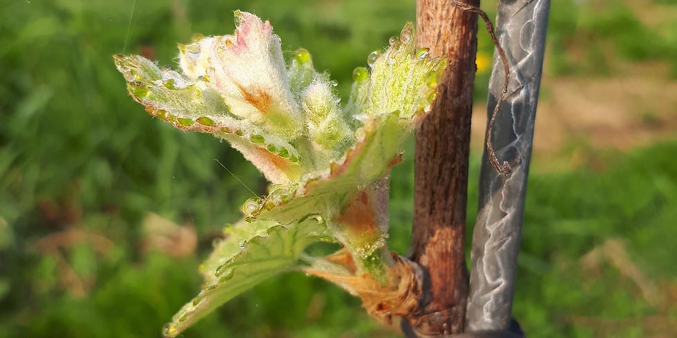 Après midi dans les vignes : Liage des baguettes (Réservé aux coopérateurs)