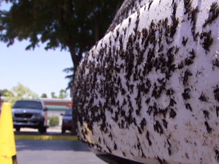 Love Bug Season is here in Florida
