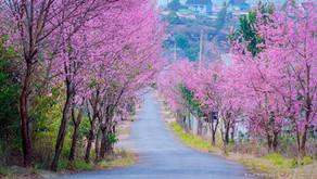 ダラットの桜
