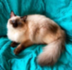Chocolate Colorpoint Ragdoll