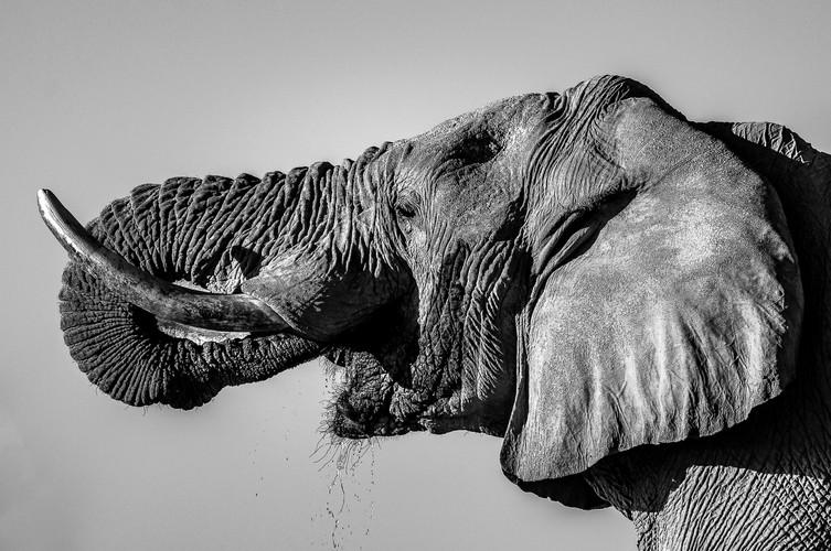 Cristiano Colizzi - Elefante