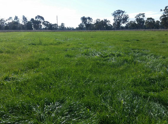Dairy Pasture, Victoria