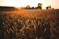 Canva - Sunset & field of grain.jpg