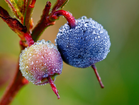 Frost and Cold Shock Destroys Horticultural Yields, Quality and Profitability