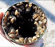 zebra-mussel-3_243x209.jpg