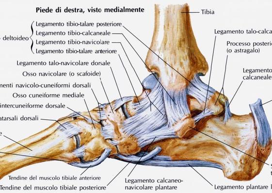 Queste strutture possono essere coinvolte nella distorsione in inversione del piede