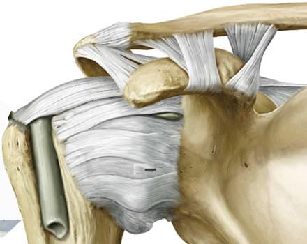 L'acromion claveare è stabilizzata dai legamenti conoide, trapezzoide e dalla piccola capsula articolare