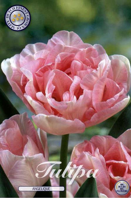 Tulipa Angelique (7 unidades)