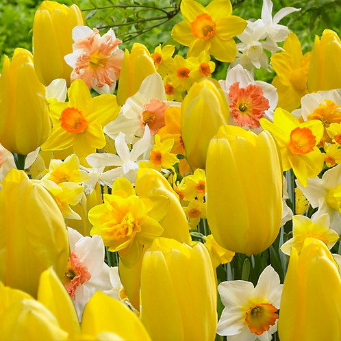 Mix narcis & tulipa groga Purissima (20 bulbs)